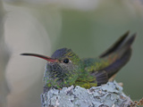 Detail of Buff-Bellied Hummingbird Sitting on Nest Atop Cactus Plant  Raymondville  Texas  USA