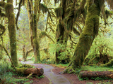 Hall of Mosses and Trail  Big Leaf Maple Trees and Oregon Selaginella Moss  Hoh Rain Forest