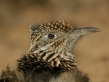 Head Portrait of Great Roadrunner  Bosque Del Apache National Wildlife Reserve  New Mexico  USA