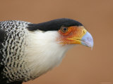 Portrait of Crested Caracara Against Red Dirt  Cozad Ranch  Linn  Texas  USA