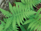 Long Beech Fern  White Mountains National Forest  Waterville Valley  New Hampshire  USA