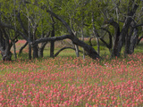 Springtime with Indian Paint Brush and Oak Trees  Near Nixon  Texas  USA