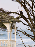 Eagle Perched at Entrance to Beach Trail  Kalaloch Lodge  Olympic National Park  Washington  USA