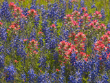 Blue Bonnets and Indian Paint Brush  Texas Hill Country  Texas  USA