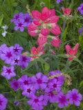 Phlox and Indian Paint Brush Near Devine  Texas  USA