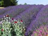 Lavender Field and Poppies  Sequim  Olympic National Park  Washington  USA