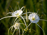 Spider Lily on Edge of Pond Near Cuero  Texas  USA