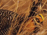 Greater Prairie Chicken in Grass  Pembina Trail Preserve  Minnesota  USA