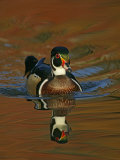 Abstract of Wood Duck Drake Swimming in Autumn Color Reflections  Chagrin Reservation  Cleveland