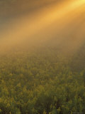 Meadow of Goldenrod Plants Bathed in Foggy Summer Sunlight  Michigan  USA