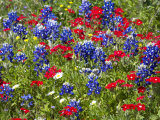 Texas Blue Bonnets and Red Phlox in Industry  Texas  USA