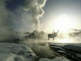 Sunrise Silhouette of Elk at Castle Geyser  Yellowstone National Park  Wyoming  USA