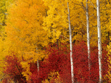 Aspen Trees in Autumn  Wenatchee National Forest  Washington  USA