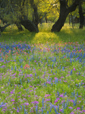 Dusk Through Oak Trees  Field of Texas Blue Bonnets and Phlox  Devine  Texas  USA