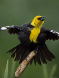 Yellow-Headed Blackbird Balances on Cattail and Sings with Wings Up  Great Falls