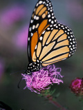 Monarch Butterfly on Northern Blazing Star Flower  New Hampshire  USA