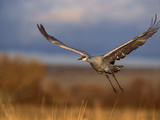 Sandhill Crane Flying at Bosque Del Apache  New Mexico  USA