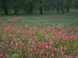 Field of Texas Blue Bonnets  Phlox and Oak Trees  Devine  Texas  USA