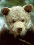 Rescued Grizzly Bear Cub  Montana  USA