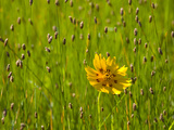 Grass Heads and Lone Coreopsis Flower Near Industry  Texas  USA