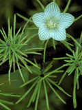 Grass of Parnassus Flower Growing Through Tamarack Tree Needles in Autumn  Michigan  USA