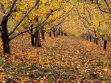 Apple Orchard in Autumn  Oroville  Washington  USA
