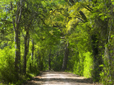 Dirt Roadway Overhanging with Greens of Oak Trees Near Independence  Texas  USA