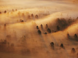 Pine Forest in Morning Fog  Minnesota  USA