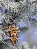 Morning Light on Balsam Fir Cone with Frost  Michigan  USA