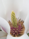 Magnolia Tree Flower Close-up in the Japanese Gardens at the Washington Park Arboretum  Seattle
