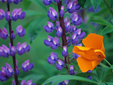 Lupine with Orange Poppy  Mt Baker Snoqualmie National Forest  Washington  USA