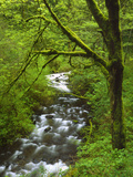 Bridal Veil Creek Flowing Through Forest in Springtime  Mt Hood National Forest