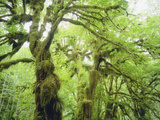 Moss Growing from Trees in a Rainforest  Olympic National Park  Washington  USA