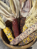 Multicolored Corn  a Native American Staple Crop  in an Indian Basket