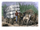 African-American Hauling Baled Cotton to Market with a Team of Mules  c1800