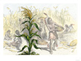 Corn  or Maize  Staple Food of the Native Americans