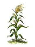 Maize  or Indian Corn Plant