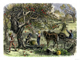 Picking Apples  a Farm Scene Near Pride&#39;s Bridge  Maine  c1800