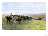 Cowboys Driving a Longhorn Herd on the Great Cattle Trail 1800