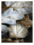 Fallen Leaves II