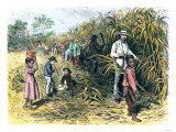 White Overseer with African-American Field-Hands Cutting Sugar-Cane  c1800