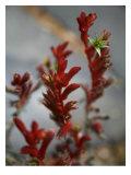 Crimson Buds