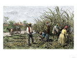 Black Slaves Harvesting Sugar Cane on a Plantation in the US South  c1800