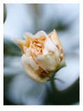 Vanilla Rose IV