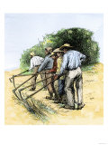 African American Field Hands Hooking Up Sugar Cane in Louisiana  c1800
