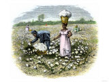 Picking Cotton on a Plantation in the Deep South  c1800