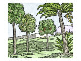 Bananas and Other Fruit Trees of Hispaniola  from a Sketch Published in 1572