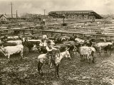 Cowboy Herding Cattle in the Railroad Stockyards at Kansas City Missouri 1890