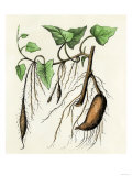 Sweet Potato Plant  a Tropical Vine with an Edible Tuberous Root