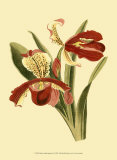 Orchid Splendor I